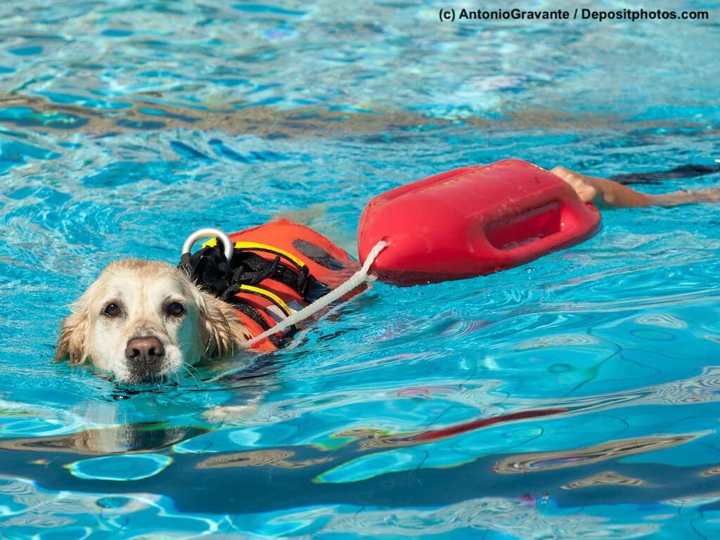 Ein Golden Retriever trainiert ein Wasserrettungshund zu sein und zieht eine Boje durchs Wasser.