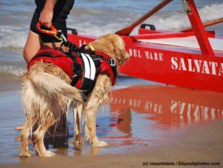 Golden Retriever mit Rettungsweste und Rettungsschwimmer am Meer