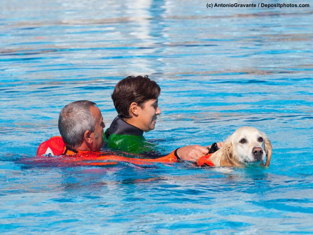 Schwimmbadtraining, Golden Retriever mit Rettungsweste im Wasser bringt Menschen an Land