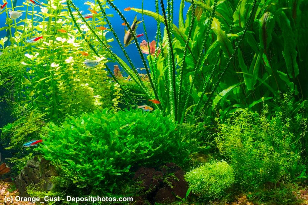 Wasserstern Pogostemon helferi in einem Aquarium