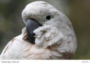 Porträt eines Weißhaubenkakadus, weißes Gefieder, grau-schwarzer Schnabel