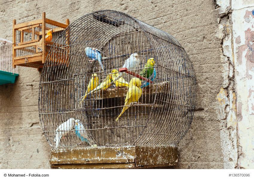 Viel zu kleiner, schmutziger Vogelkäfig mit 8 Wellensittichen verschiedener Farben.