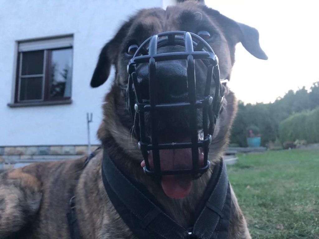 Hechelnder Hund von vorne fotografiert mit einem schwarzen zu kleinen Windhundmaulkorb