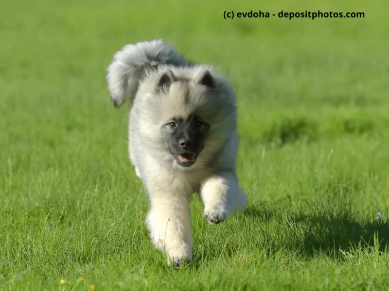 Wolfsspitz Welpe läuft glücklich durch das Gras