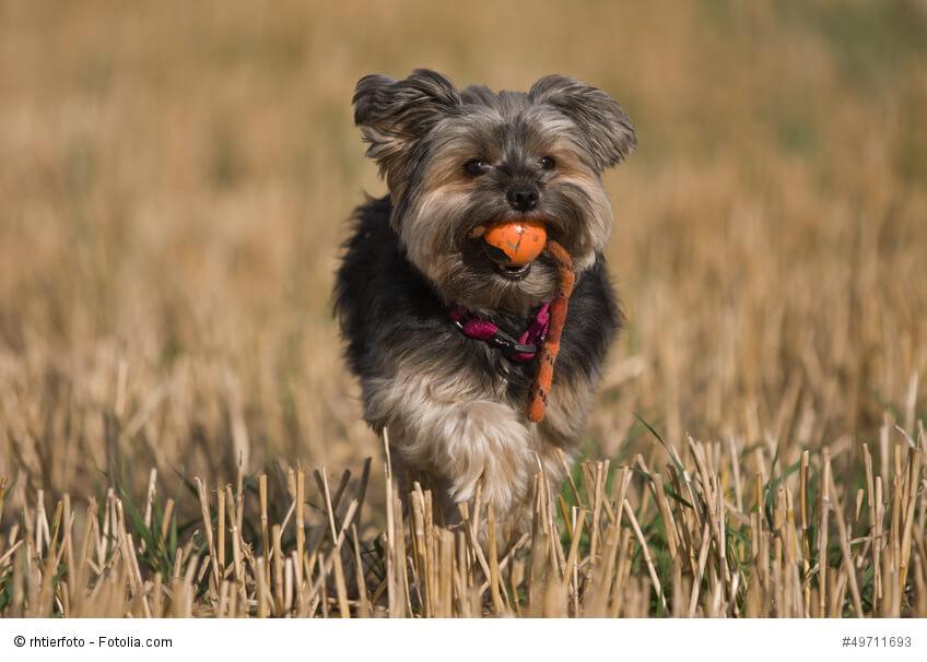 Yorkshire Terrier sind sehr aufgeweckte und kluge Hunde.