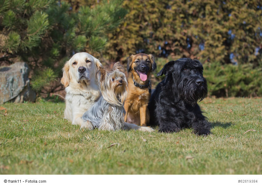 Yorkies haben ein enormes Selbstbewusstsein, daher ist im Umgang mit großen Hunden Vorsicht geboten.