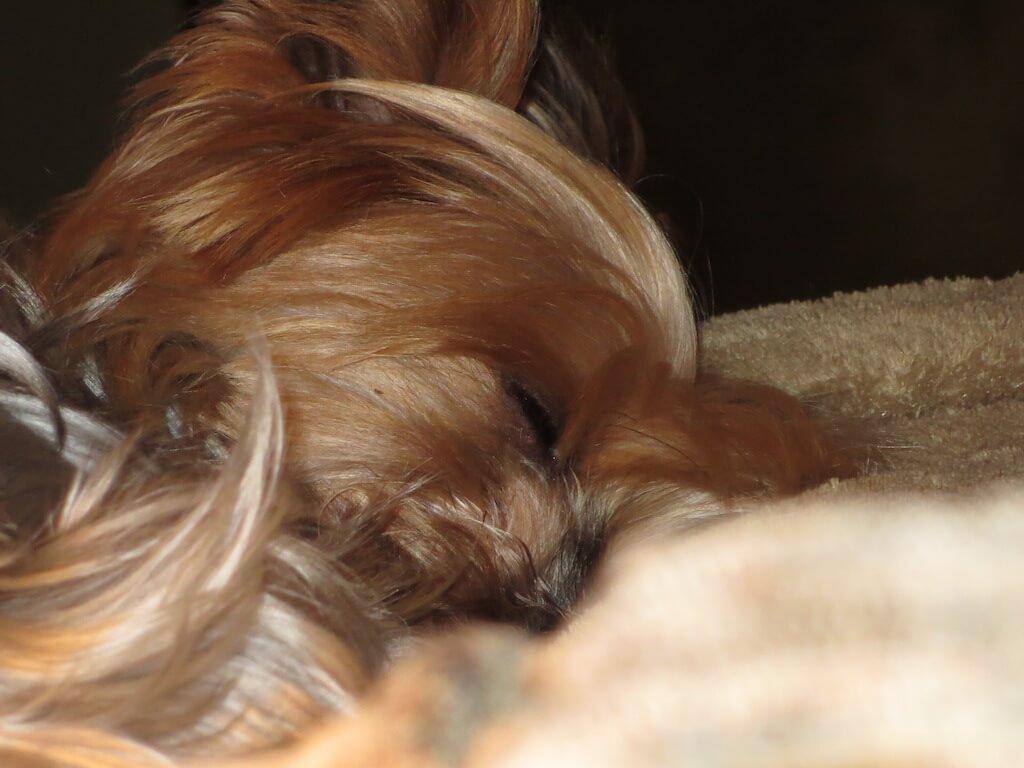 Yorkshire Terrier sind sehr liebenswürdige und niedliche Hündchen.
