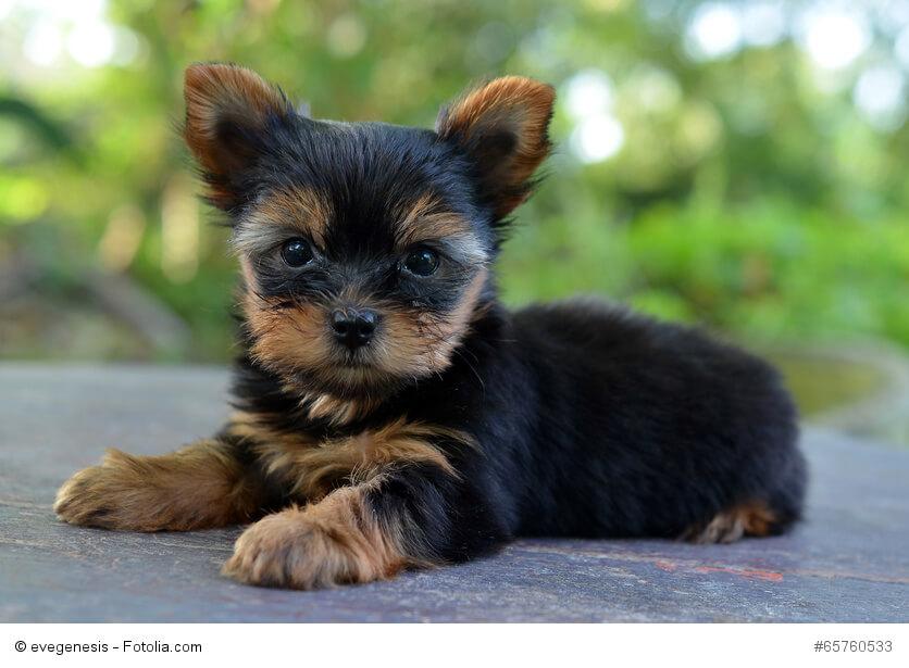 Yorkshire Terrier Steckbrief Fci Klasse Wesen Mehr Haustiermagazin