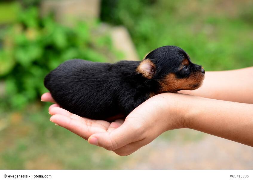 Neu geborene Yorkshire Terrier passen problemlos in eine Hand.
