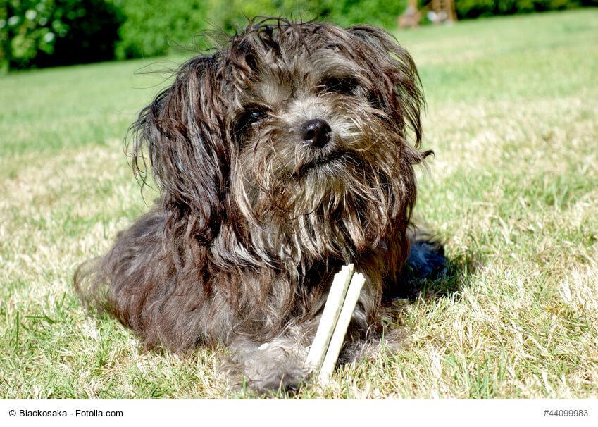 Dunkler Hund mit Zahnpflege-Leckerlie