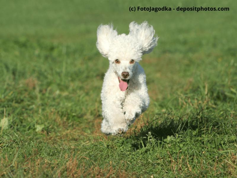 Zwergpudel Weißer Pudel Welpe rennt auf Wiese