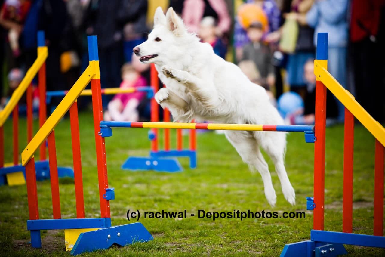 ein weißer großer Hund im Sprung über ein buntes Hindernis während eines Agility-Turnieres