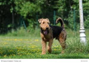 Stehender Airdale Terrier, der in die Sektion 1 der Hochläufigen Terrier gehört.