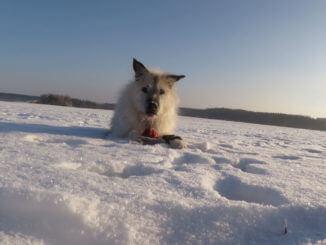 Ein alter weißer Hund liegt im Schnee mit einem Ball zwischen seinen Pfoten und schaut aufmerksam in die Kamera.