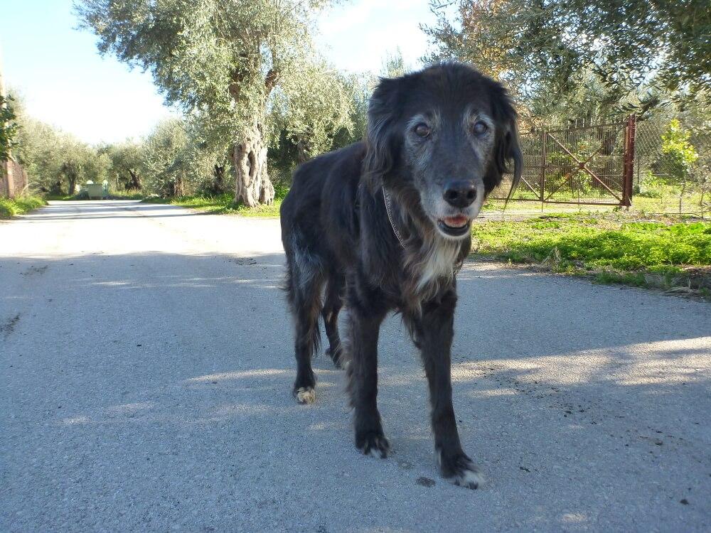 Alter schwarzer Hund läuft im Schatten
