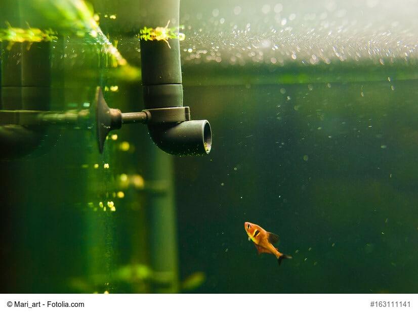 Kleiner Goldfisch schwimmt im Aquarium auf die Pumpe zu.
