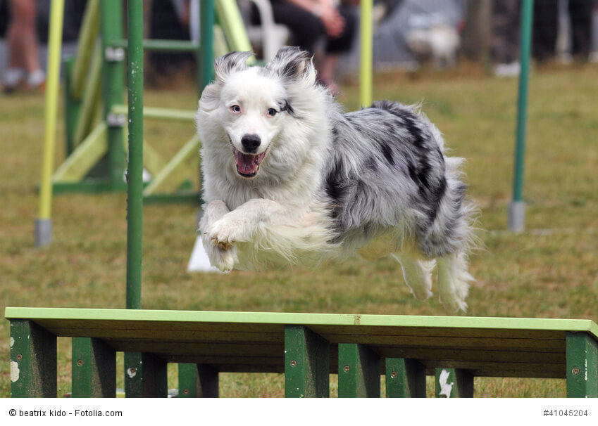 Ein Australian Shepherd springt über ein Hindernis