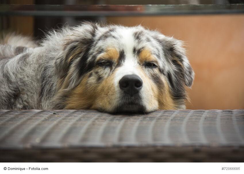 Liegender Australian Shepherd schaut müde in die Kamera.