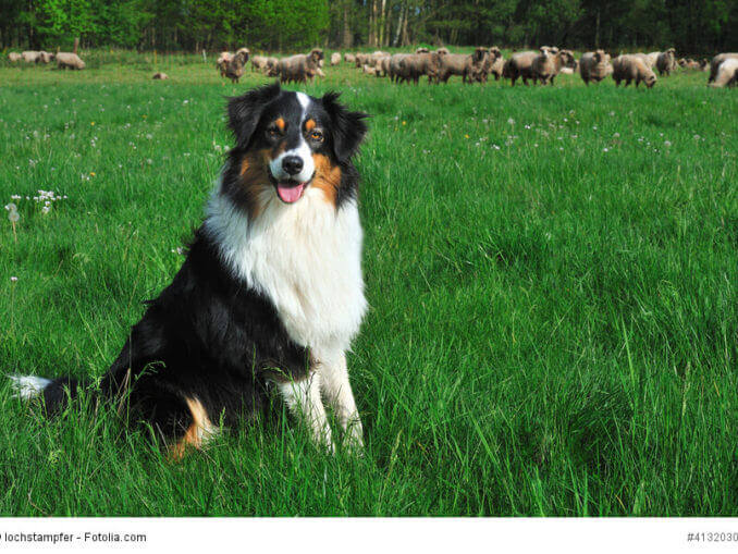 Ursprünglich hatten Australian Shepherd die Aufgabe Schafherden als Hütehunde zu betreuen.