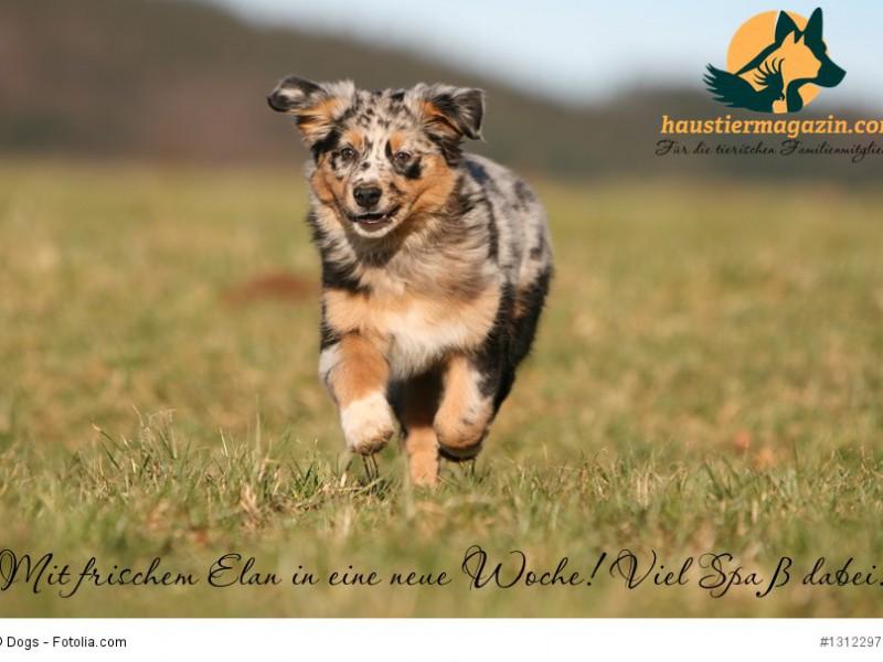 chiot berger australien multicolore en pleine course