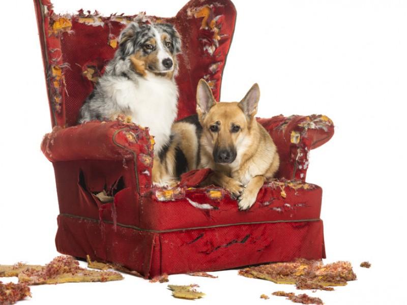Wenn du ihnen keine Aufgabe gibst, suchen sich Australian Shepherd und Deutscher Schäferhund eine – die dir wahrscheinlich nicht gefällt.