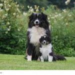 Australian Shepherd sind bei ausreichender Sozialisation tolle Familienhunde.