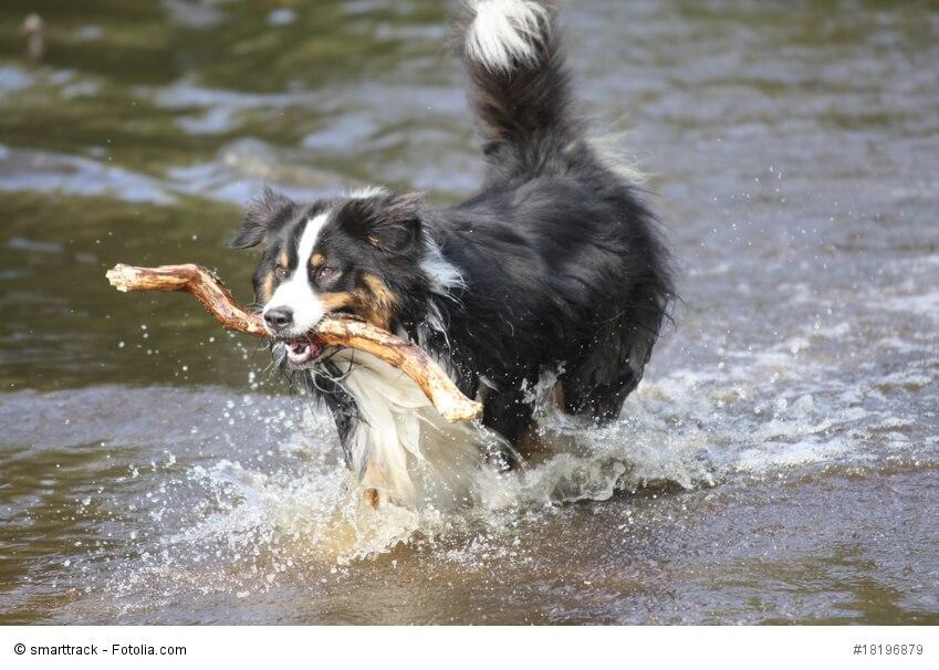 Australian Shepherd sind keine Jagdhunde, apportieren aber gerne mal einen Stock.