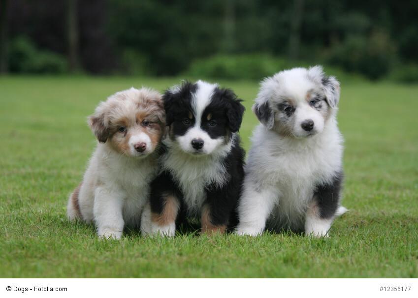 Drei Australian Shepherd Welpen in verschiedenen Fellfarben sitzen auf einer Wiese und legen neugierig die Köpfchen schief.