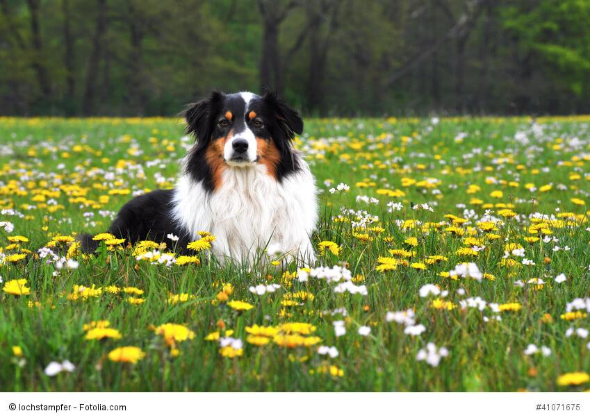 Australian Shepherd sind intelligente und wissbegierige Hunde.