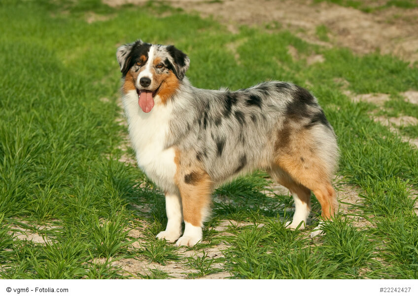 Best Mixed Breed Dogs No Shedding