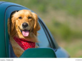 Golden Retriever schaut aus dem geöffneten Autofenster