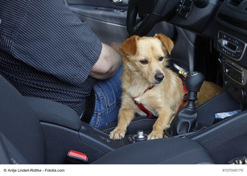 Hund im Fußraum des Fahrers im Auto