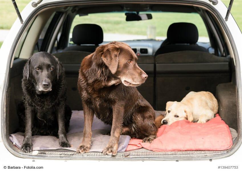 Drei Labrador Retriever sitzen im Kofferraum