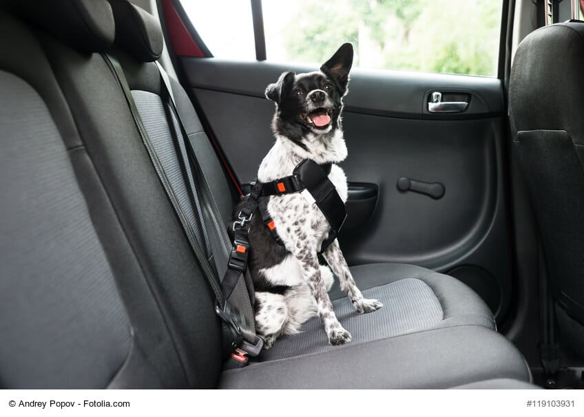 Angeschnallter Hund im Auto