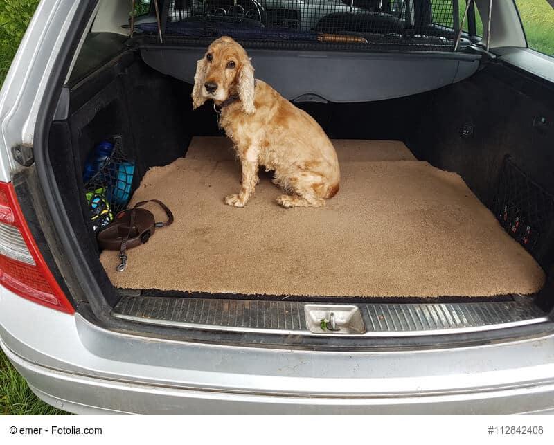Cocker Spaniel sitzt auf einer Decke im Kofferraum