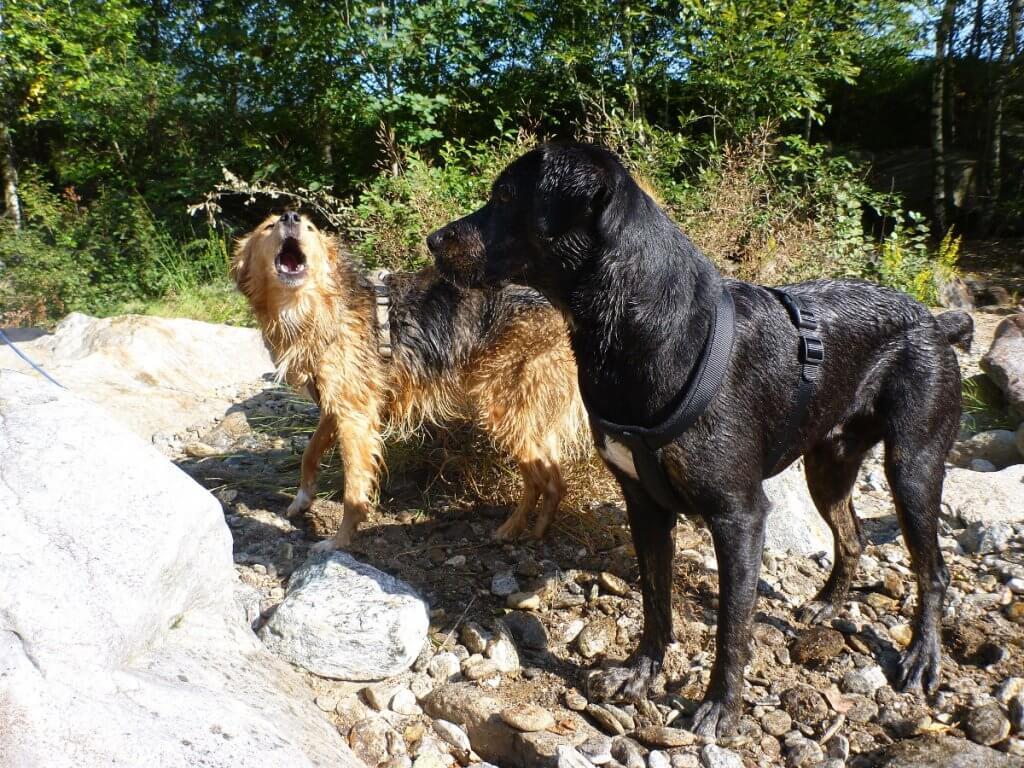 Ein Mischling bellt einen anderen Hund an