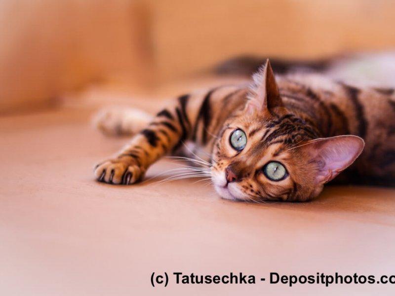 Bengal – kleine Tiger für das Wohnzimmer