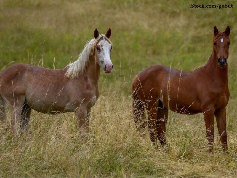 Zwei Berber Jungpferde sind aufmerksam