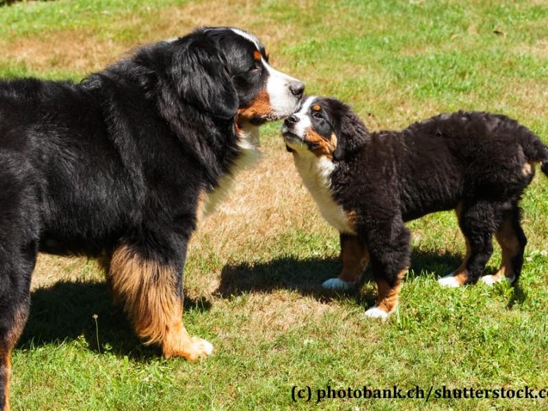 berner-sennenhund-familie