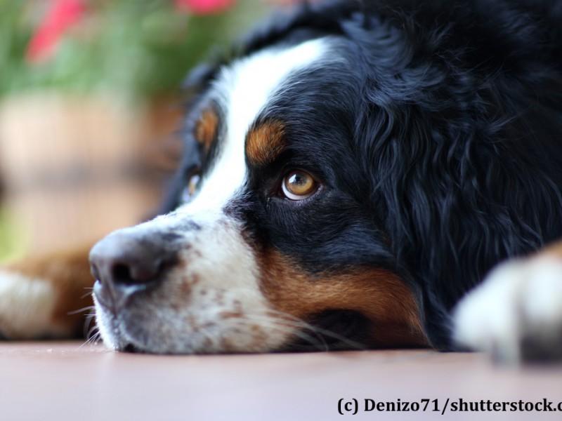 berner-sennenhund-nachdenklich