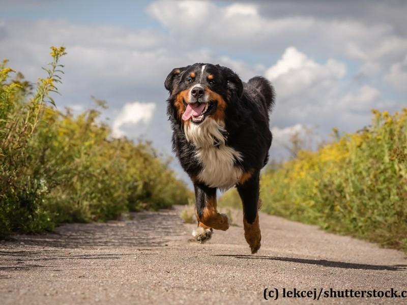 berner-sennenhund-rennt