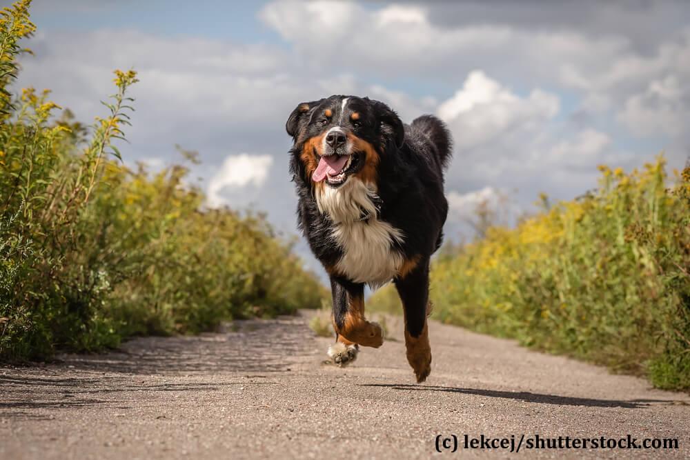 Berner Sennenhunde mögen sich gerne bewegen müssen aber gelegentlich zu ihrem eigenen Wohl zurück gehalten werden.