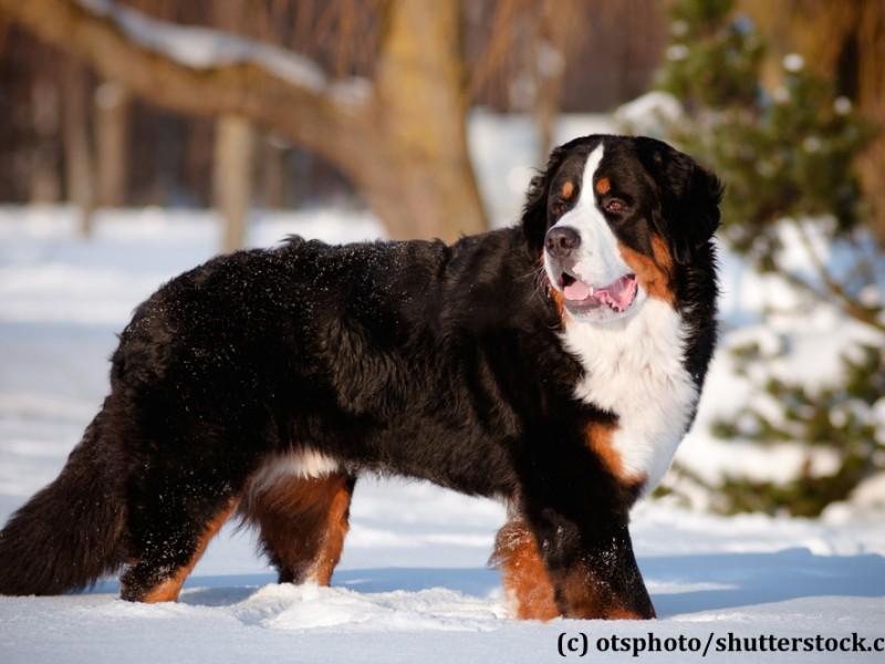 berner-sennenhund-schnee
