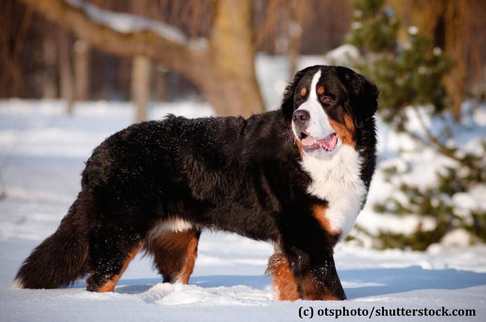 Black Russian Terrier Mountain Dogs