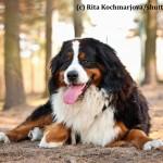Berner Sennenhunde mögen Spaziergänge, sind aber keine Hochleistungssportler