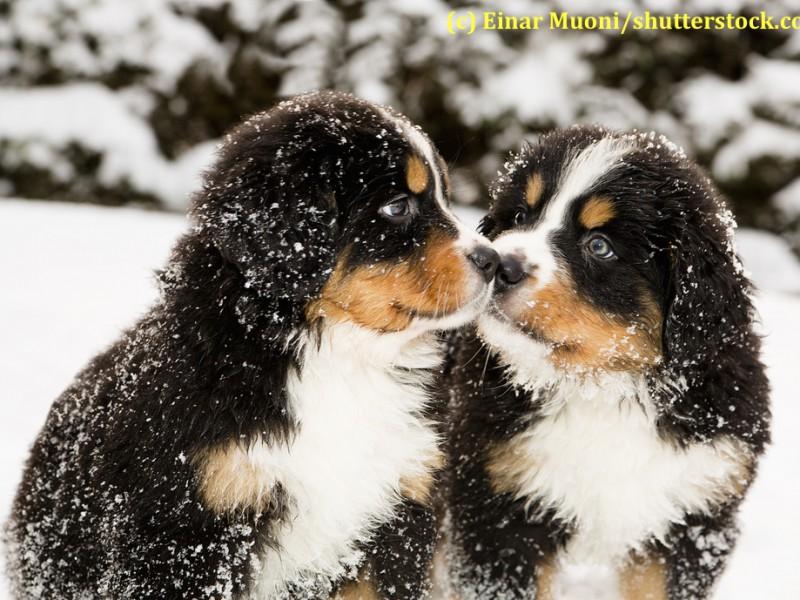 berner-sennenhund-welpen-schnee
