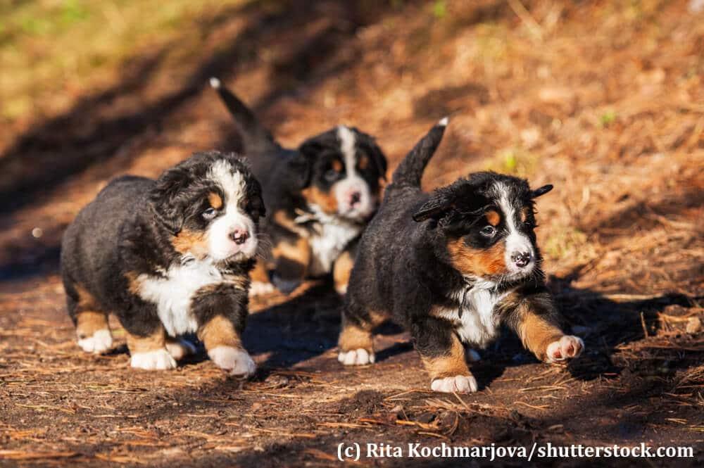 Wie alle Welpen spielen auch Berner Sennenhunde am liebsten mit ihren Geschwistern