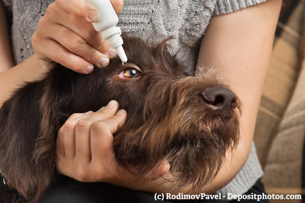Eine Frau hält einen Hundekopf mit einer Hand fest, mit der anderen gibt sie Augentropfen