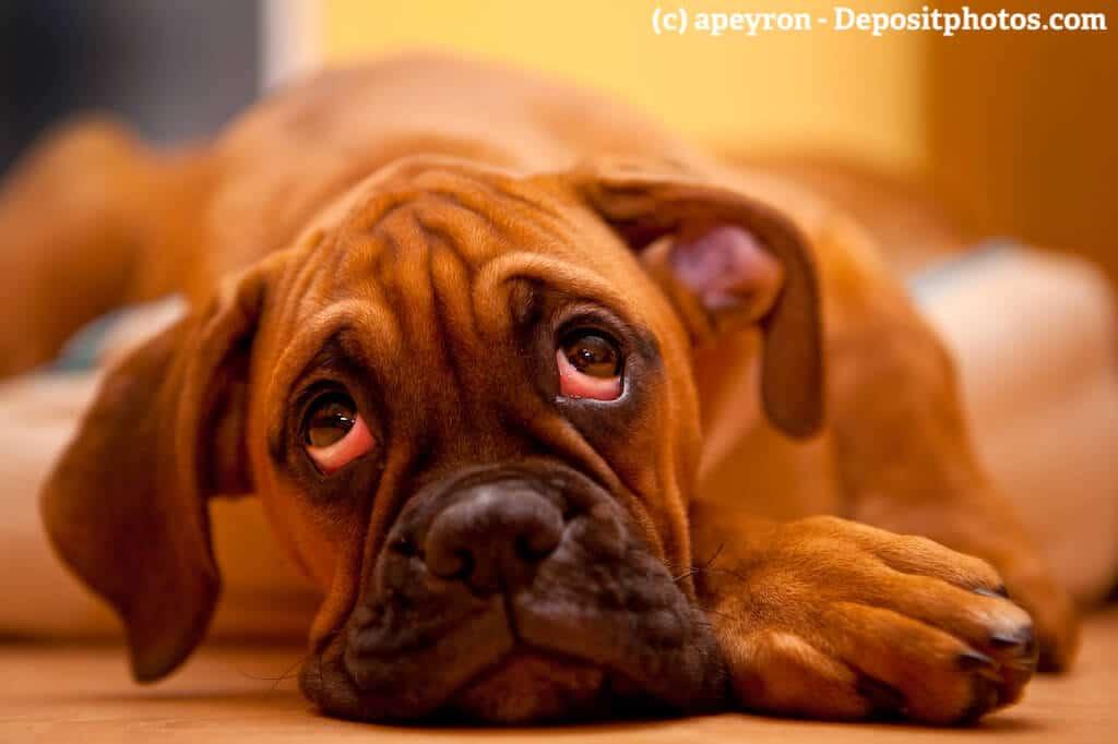 Deutscher Boxer liegt traurig auf dem Boden mit großen Augen bei denen man die Schleimhäute sehen kann