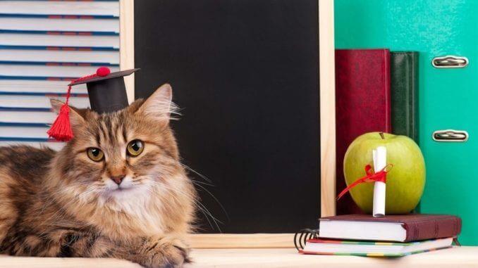 Sibirische Katze mit Uni-Hut und Zertifikat